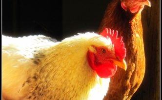 A Tale of Two Roosters - The Self Sufficient HomeAcre
