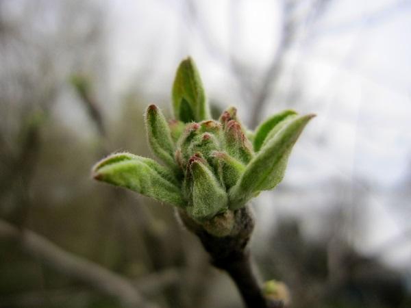 apple blossom bud