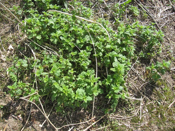 Patch of Stinging Nettle