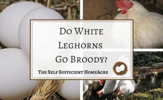 Do White Leghorns Go Broody_