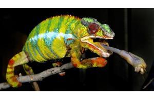 political chameleon