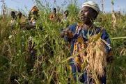 Sierra leone farming2