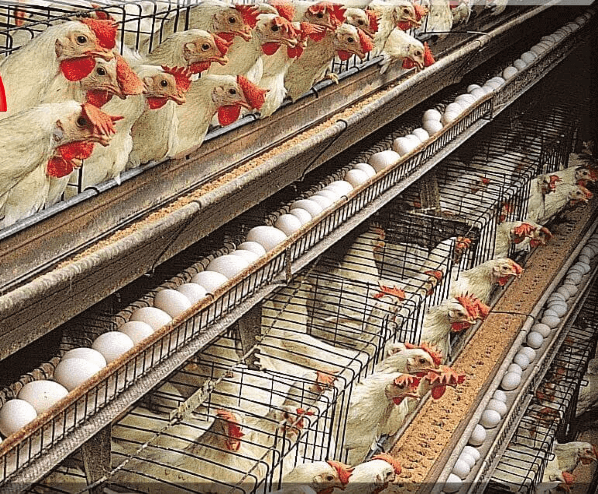 poultry-sex