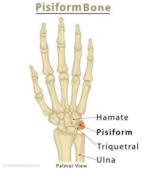 Pisiform Bone Definition, Location, Anatomy, Functions, & Diagram | The Skeletal System