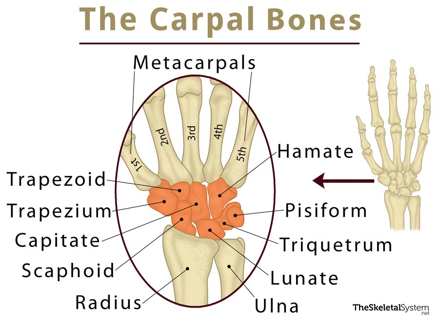 Lower Arm Bones Labeled