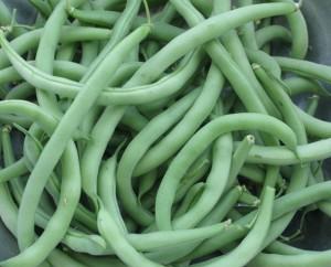 Green beans freshly picked