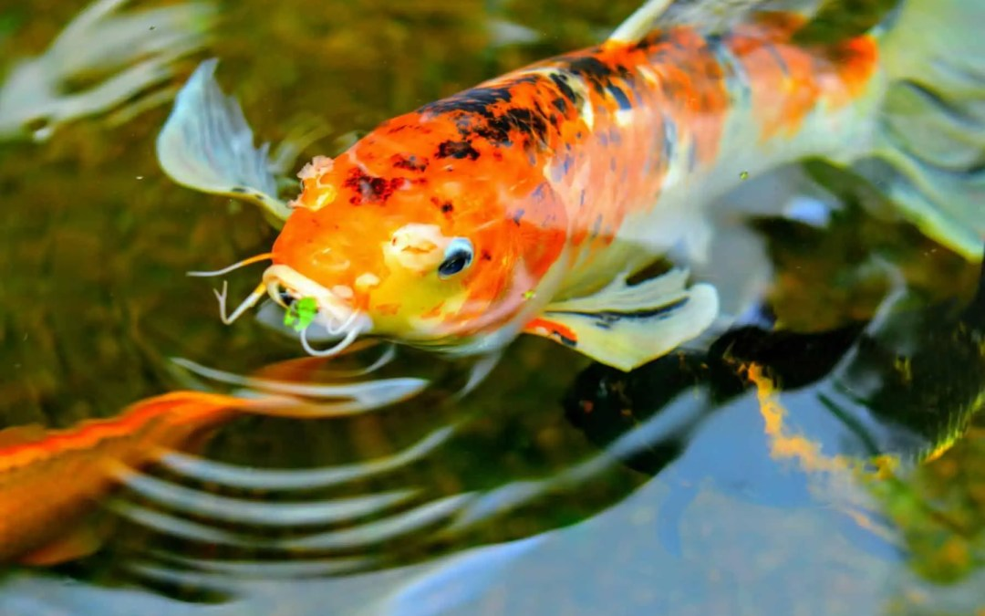 Ways to Clean a Koi Pond to Make it Beautiful Again
