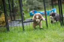 Nora&Oliver_Puppies-233RollingSammy