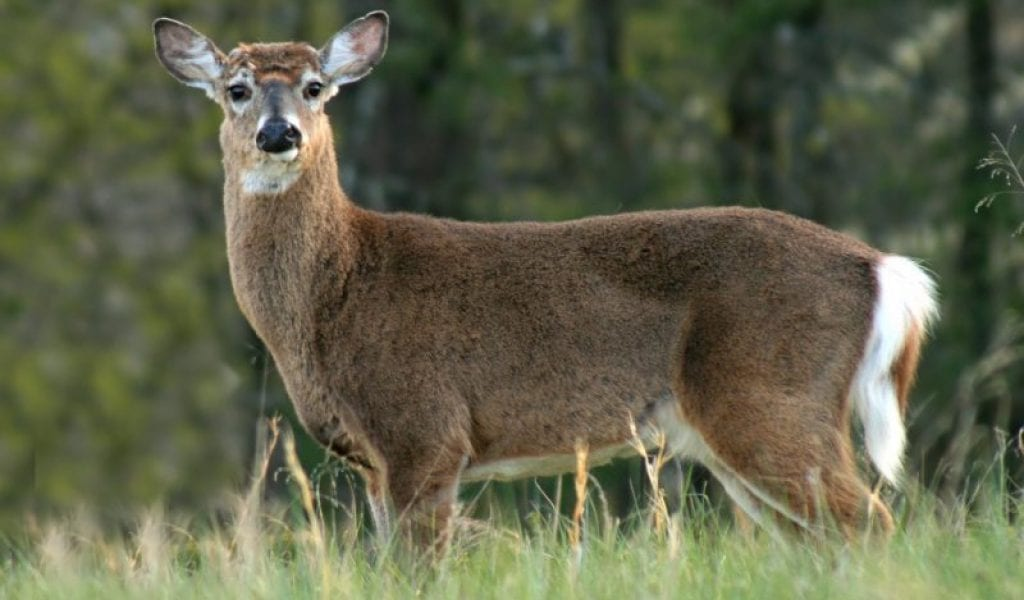 White tailed deer are among the many animals you might be able to spot in Cades Cove (stock photo)