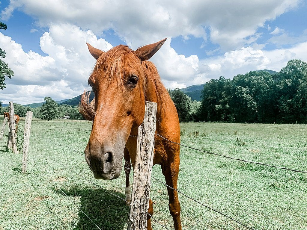 This horse seems happy to be rid of the vehicle traffic too (photo by Morgan Overholt/TheSmokies.com)