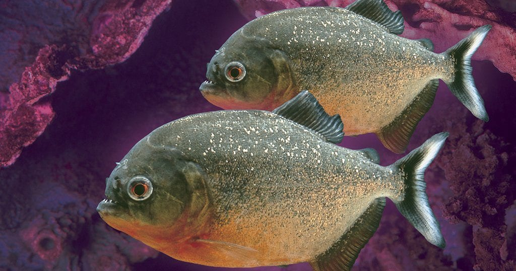 How can you look these fish in the eye, and then the other eye, if we let Ripley's Aquarium lose their title of Best Aquarium in North America? (photo courtesy of Ripley's Aquarium of the Smokies)