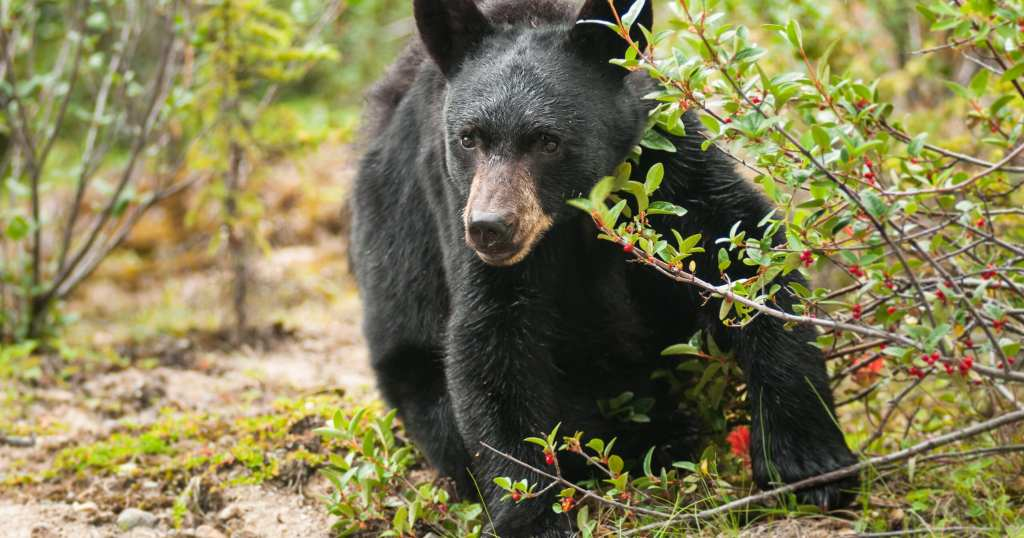 Black bears in the Smokies are unlikely culprits when people go missing for a number of reasons (stock photo)