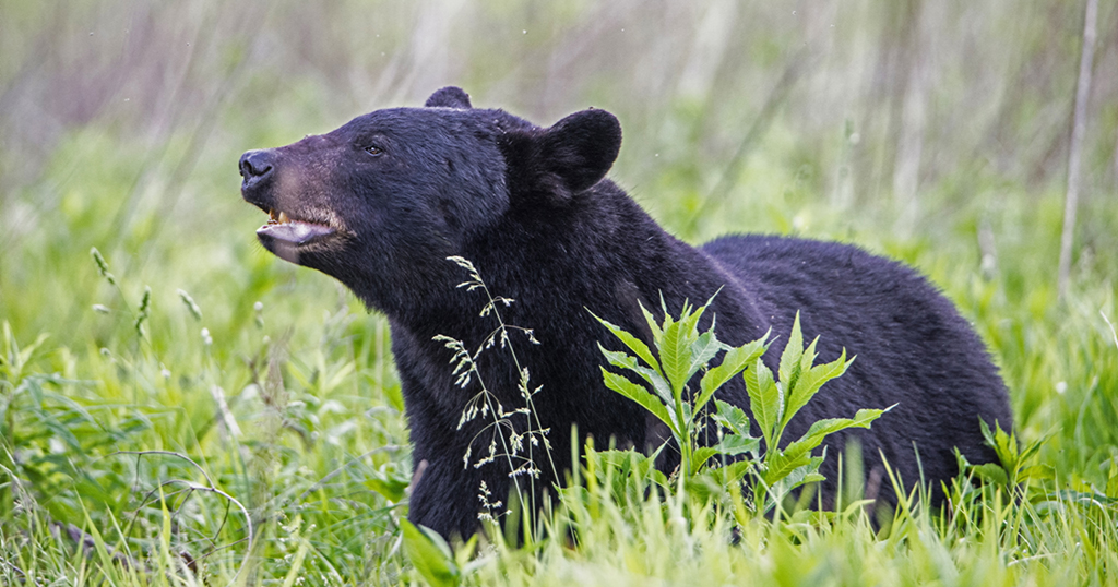 A black bear in the Smoky Mountains