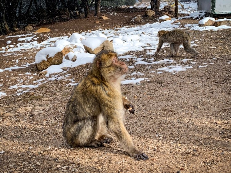 Barbary macaque in the snow-covered Atlas mountains in Morocco in October 2019