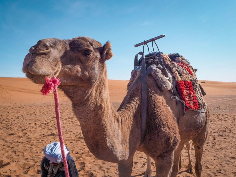 Camel in Merzouga in the Moroccan part of Sahara desert