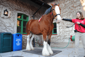 Great Clydesdale
