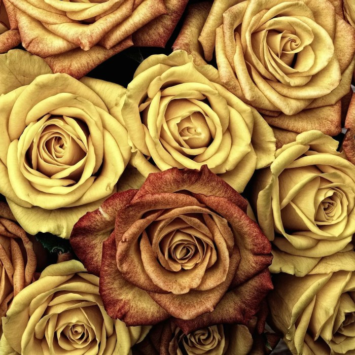 Dried Valentine's Day Roses.