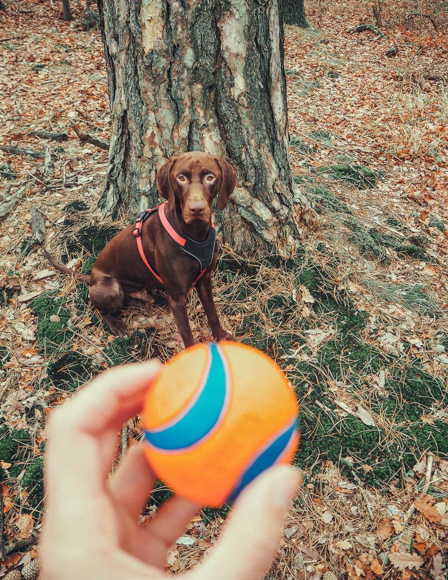 Ballspielen mit dem Hund: 3 sinnvolle Möglichkeiten mit Vizsla Mix Bjarki