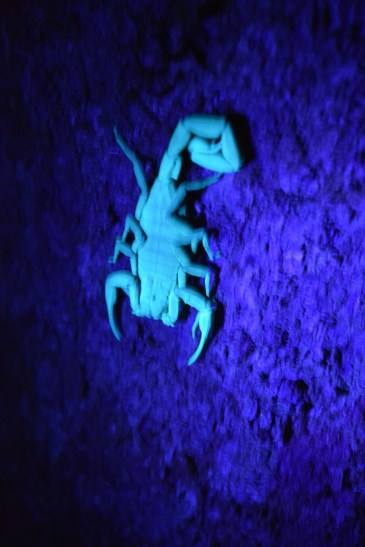Scorpion in UV light