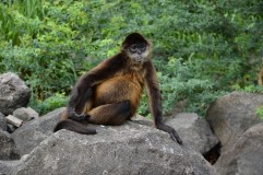 Pot-bellied monkey