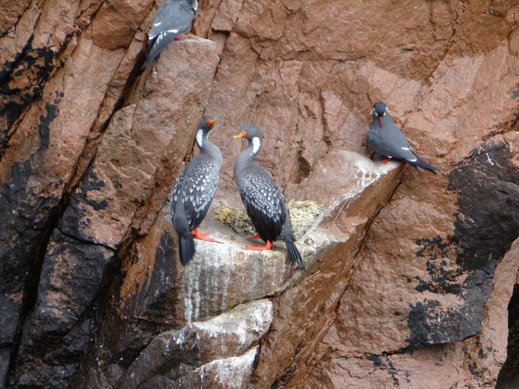 Red footed cormerants and an Inca tern