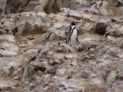 Solitary Humbolt penguin