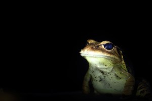 Great barred frog in Joalah National Park during our night walk.