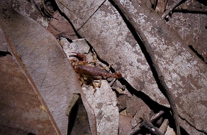 Small mottled scorpion