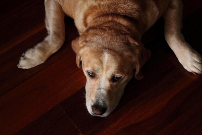 Happy Australia Dog