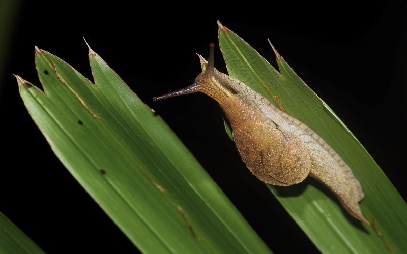 The Mountain semi slug only lives on Tamborine Mountain, nowhere else in the world. It was seen the first time in 1998 by a scientist from Brisbane. After that local naturalist Louise Piper took photo of it in around 2010, and my friend Peter Kuttner spotted it twice, in 2011 and 2013. Last night our group spotted it again,  this fifth sighting... and we saw five specimen on a small palm.