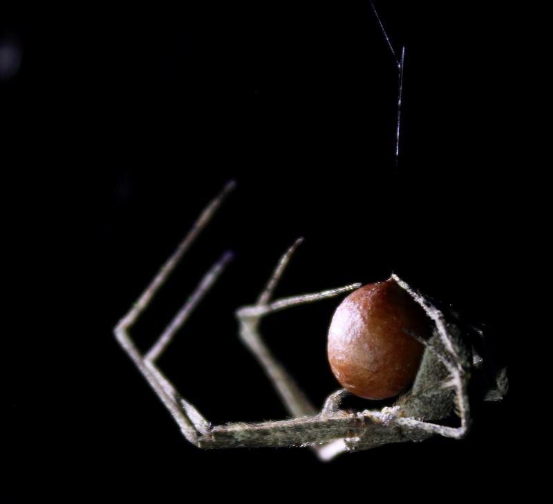 Netcasting spider weaving her egg sack
