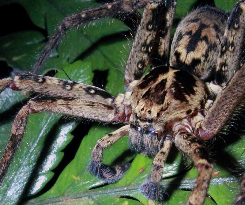 huntsman spiders have 8 eyes