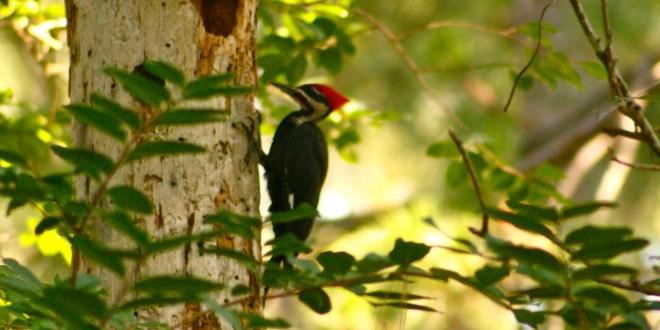 woodpecker totem
