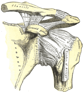 Grays Anatomy shoulder joint