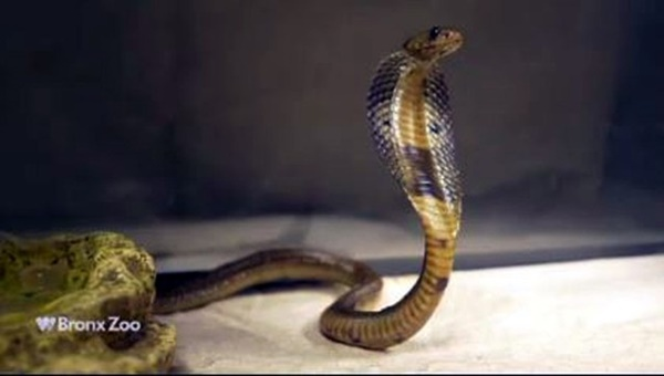 Stowaway cobra