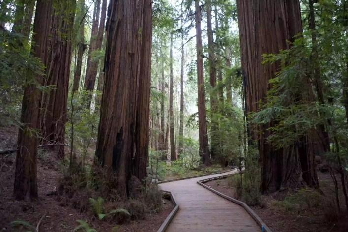 Boardwalk walkway through redwood forest