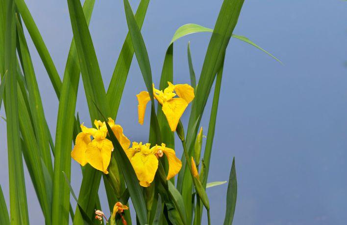 Yellow Irises-flower basket