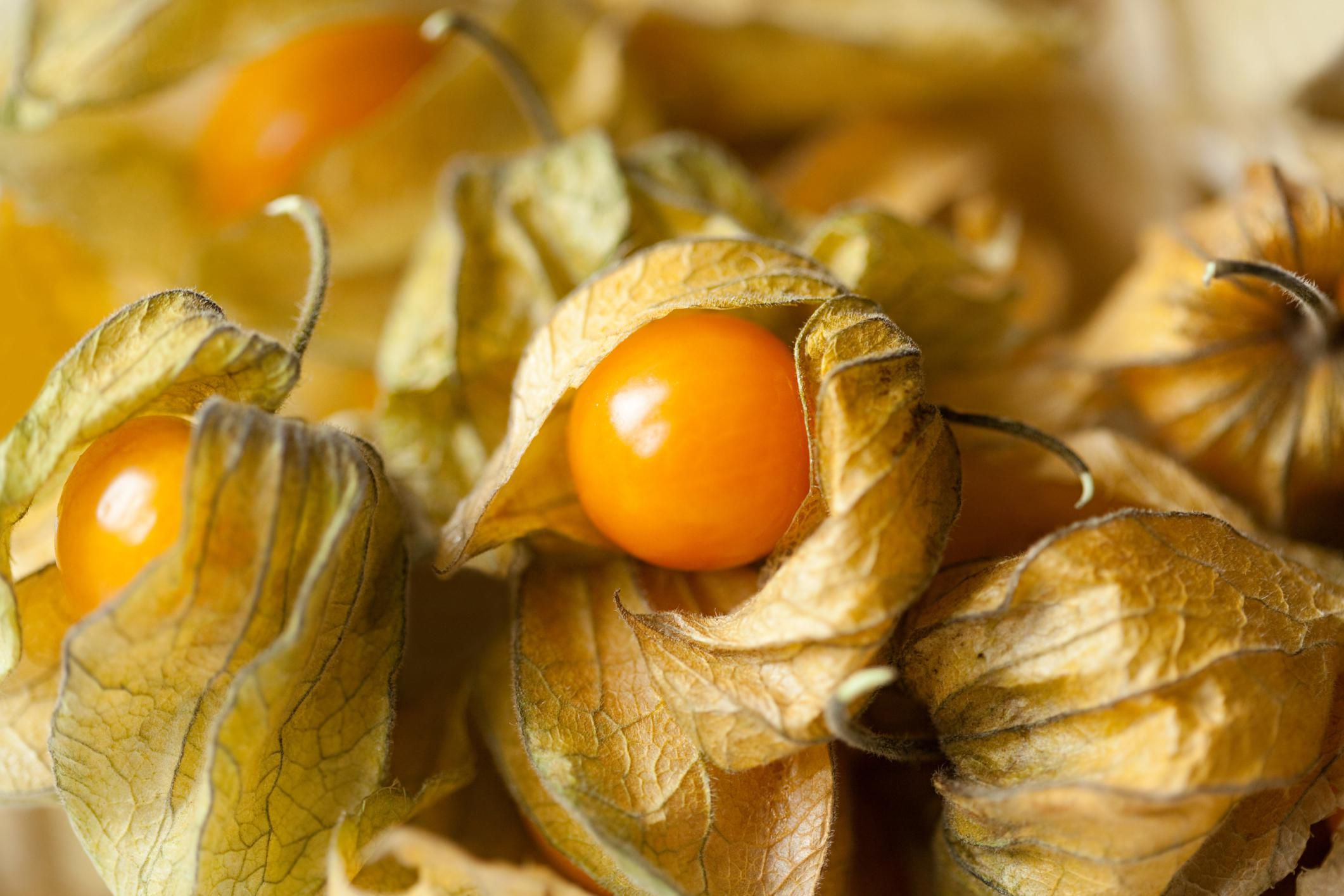 Growing Organic Ground Cherries