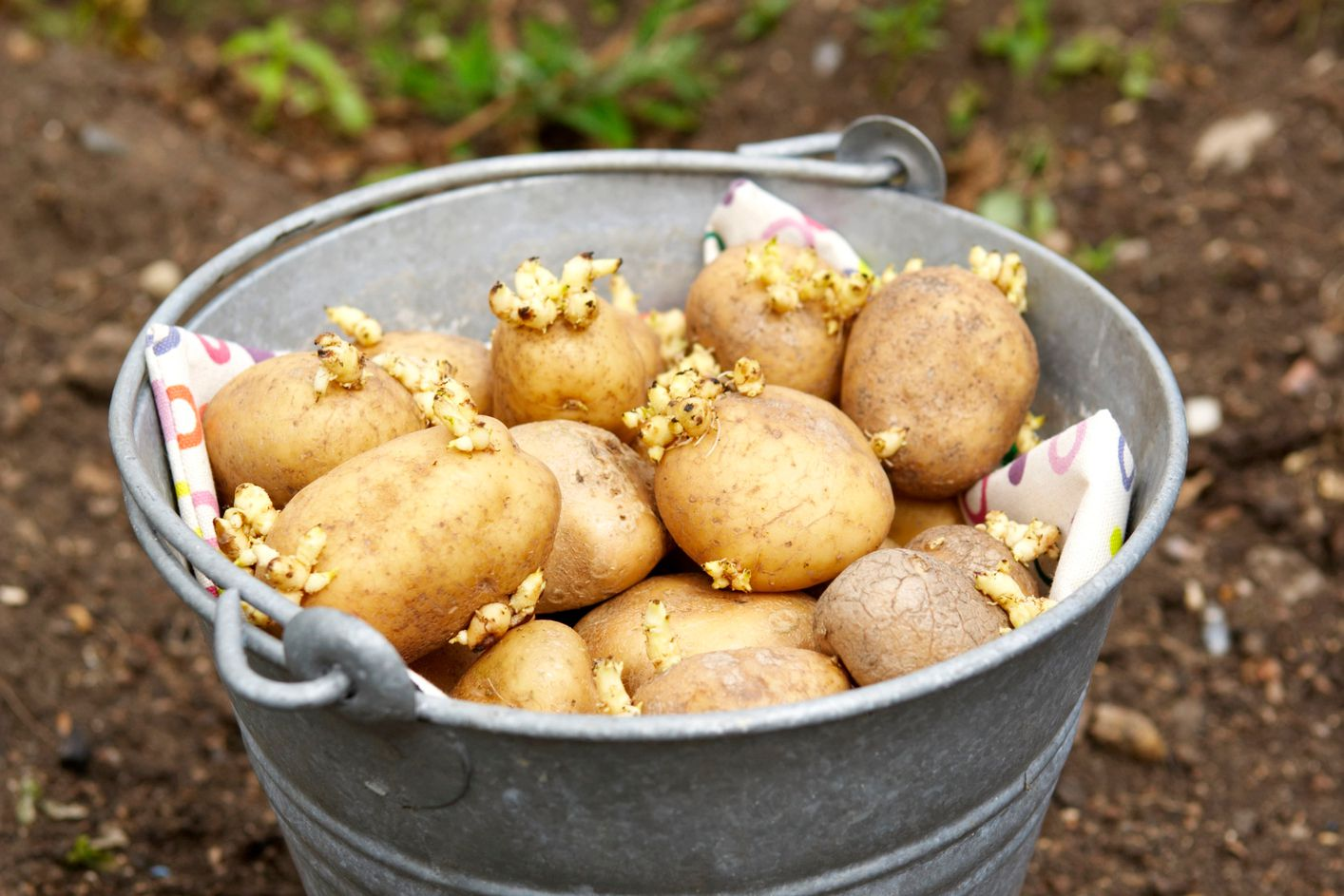 They Eat Safe Sprouted Are Potatoes