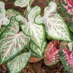 Caladium Plant Care Growing Guide