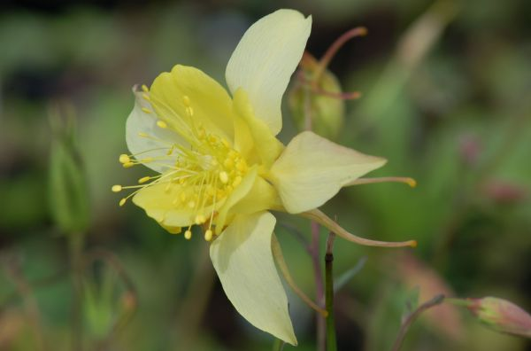 Columbine Flowers: Facts and Growing Tips