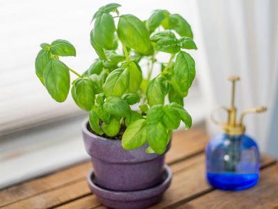 Image result for basil house plant