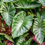 How To Grow Elephant Ears Xanthosoma In Your Garden