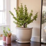 How To Grow And Care For Dwarf Jade Plant