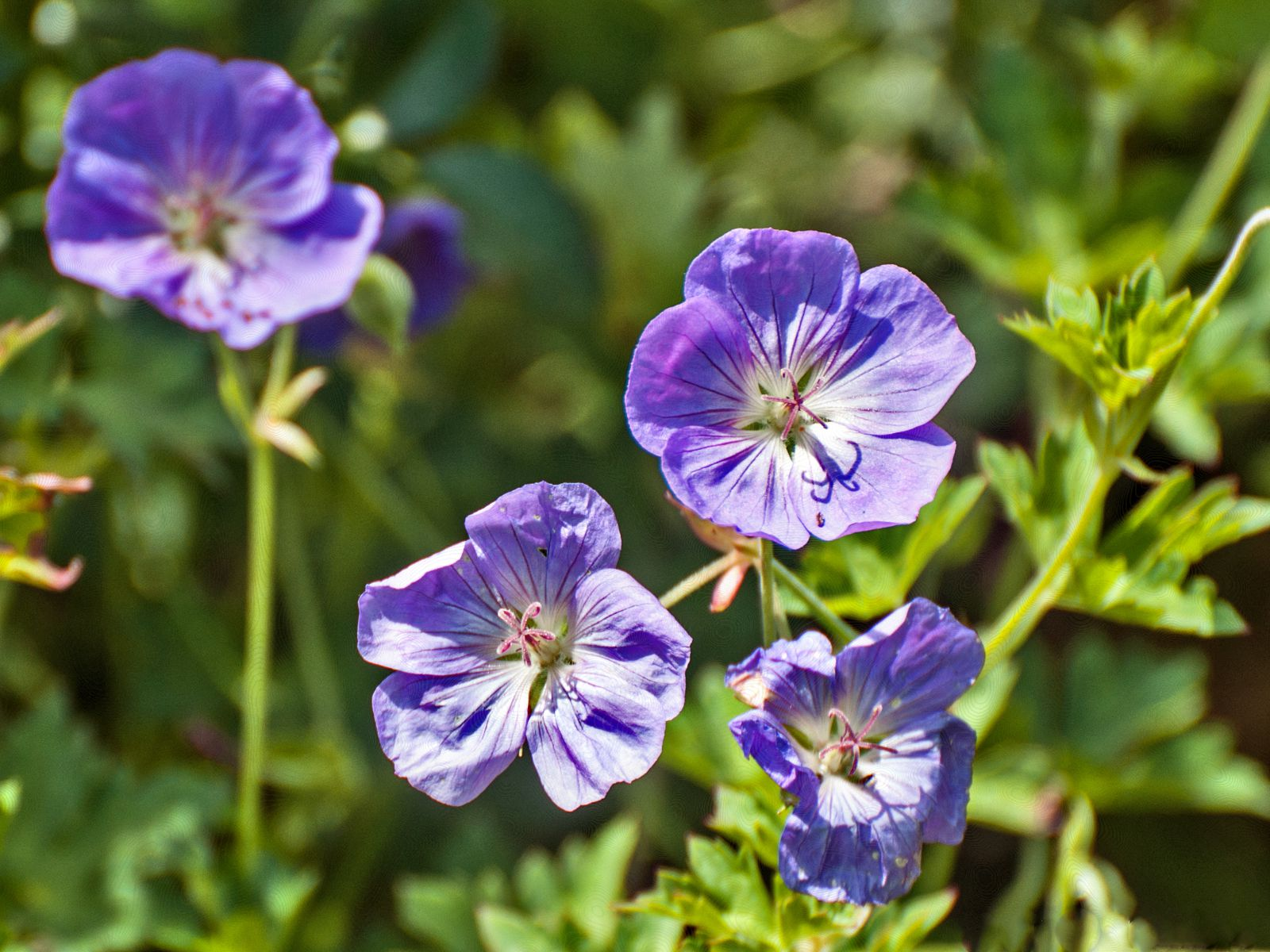 The Award Winning Geranium Rozanne