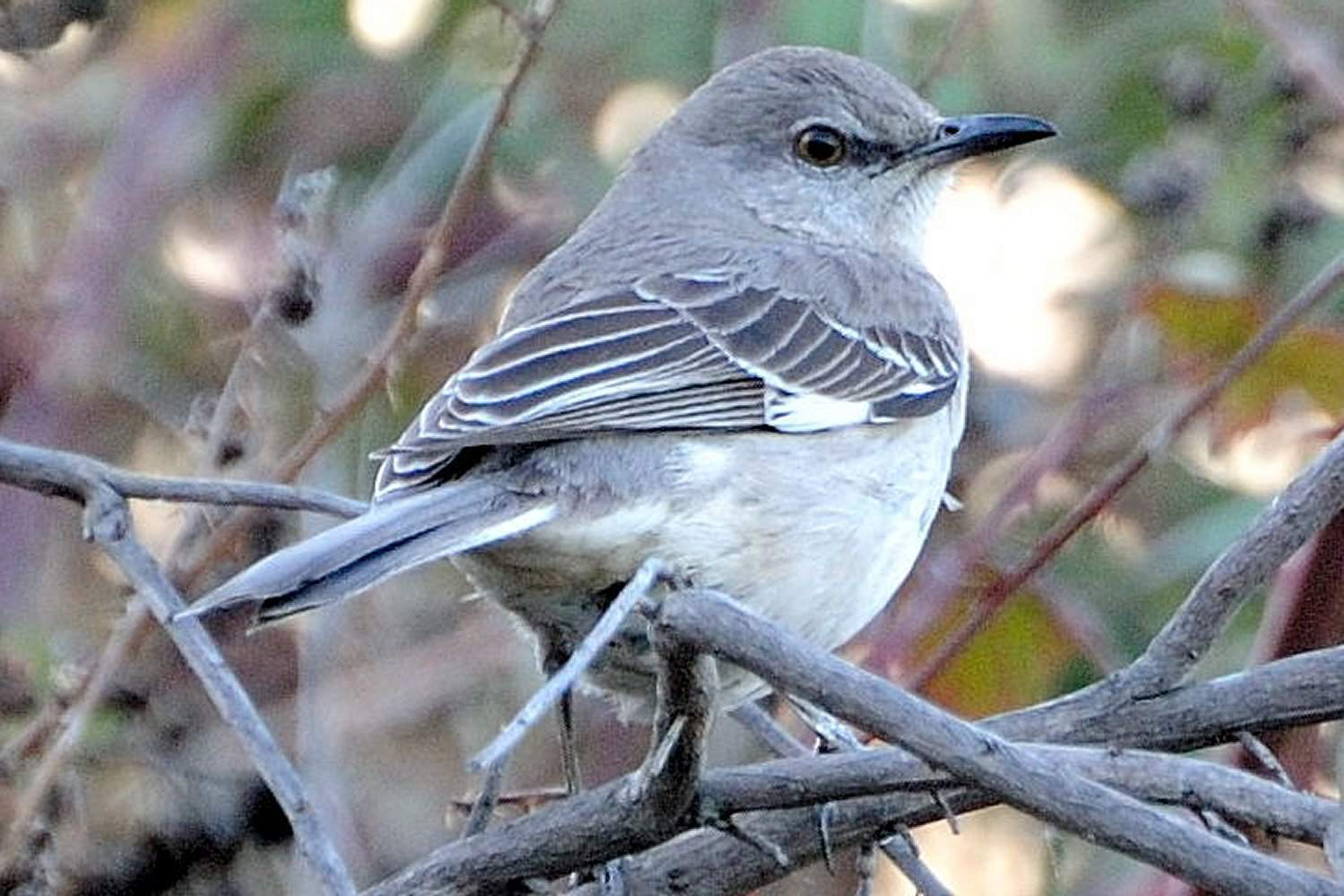 Pictures Of State Birds
