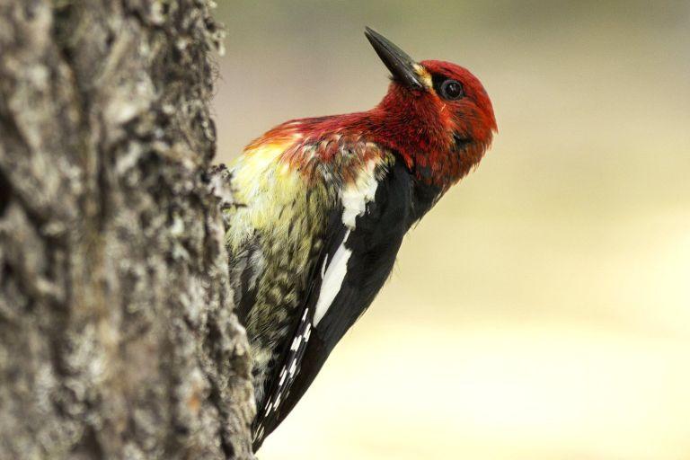 Easy Woodpecker Identification Tips