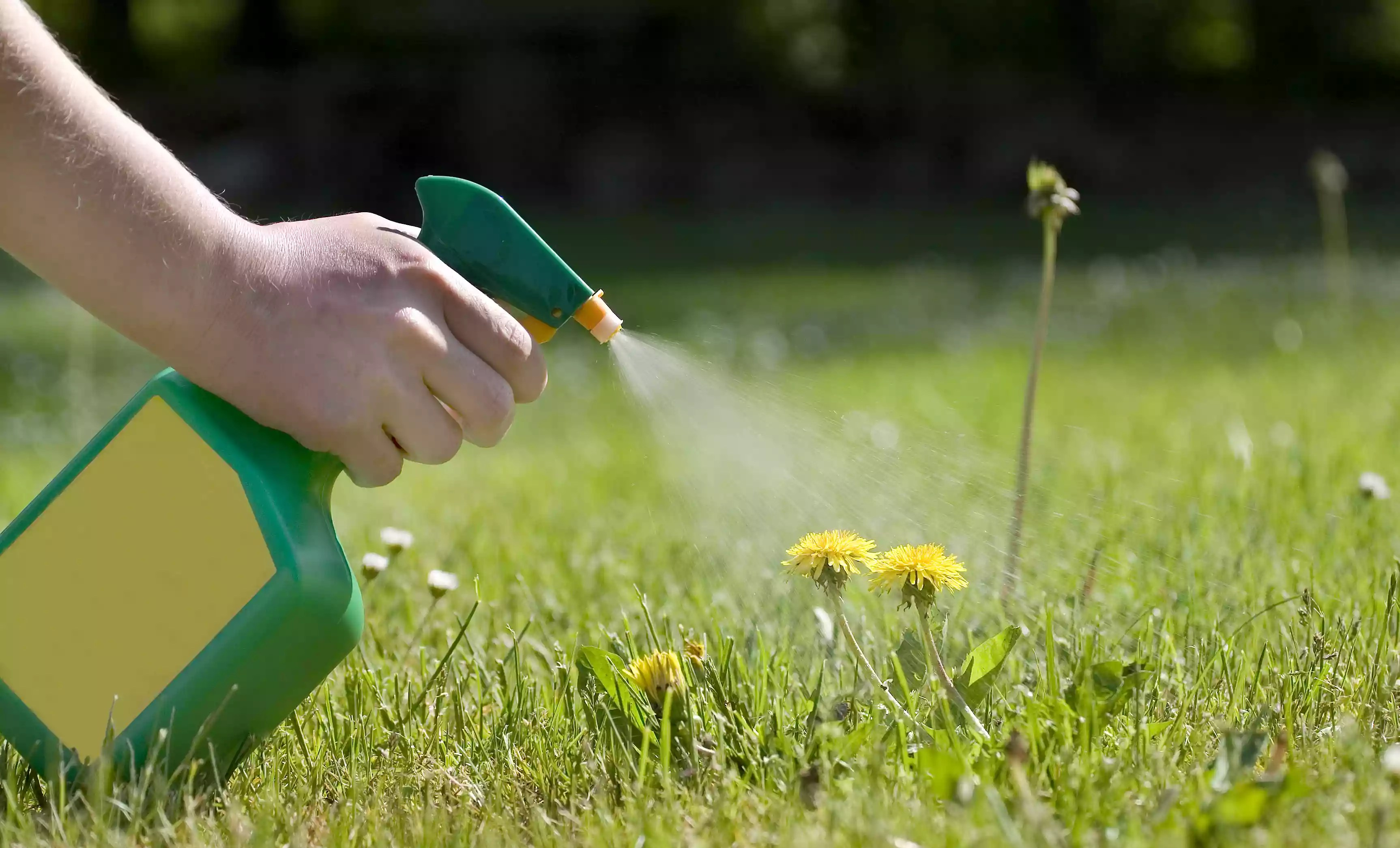 Spraying dandelion herbicide