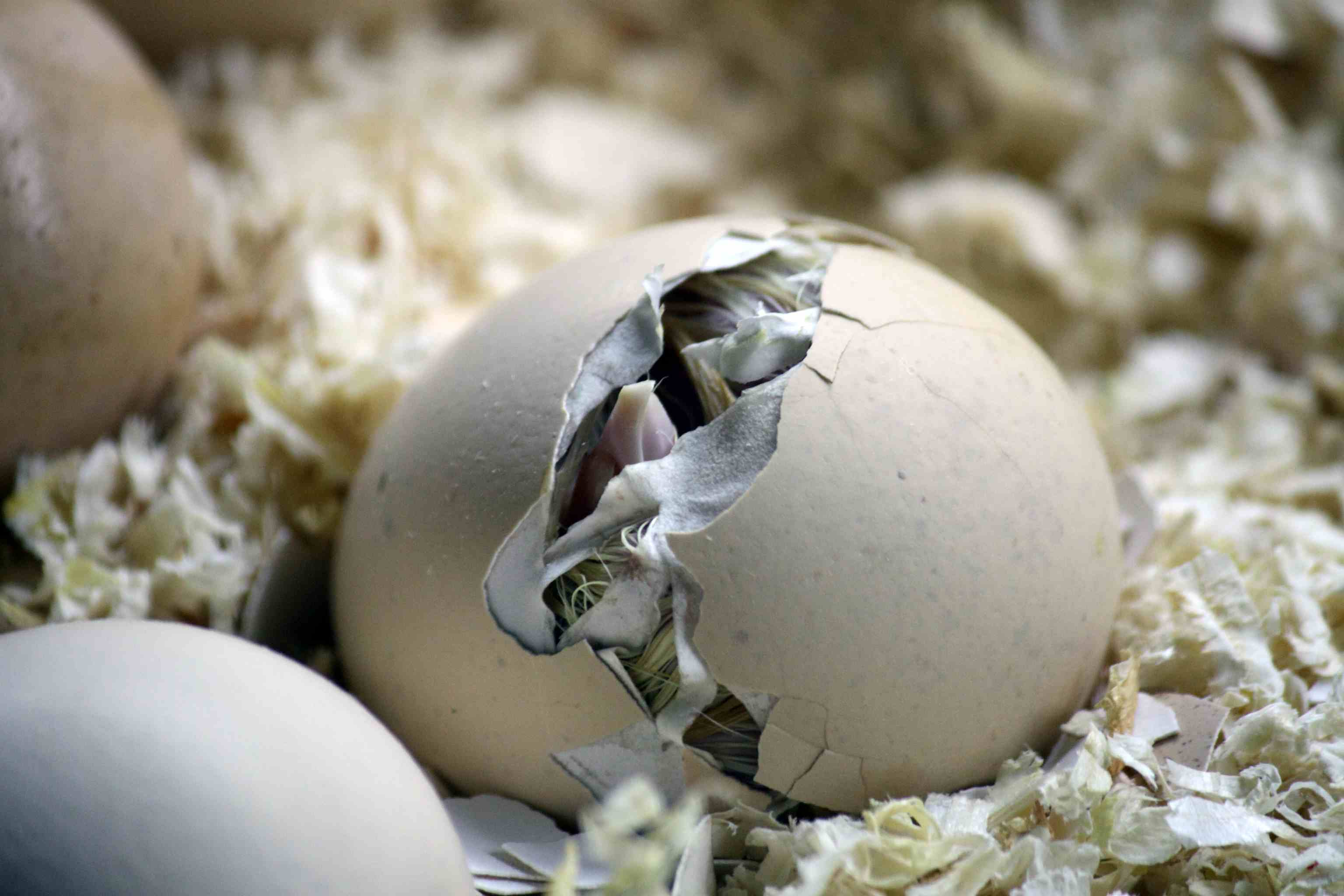 8 Tips For Hatching Chicks Naturally