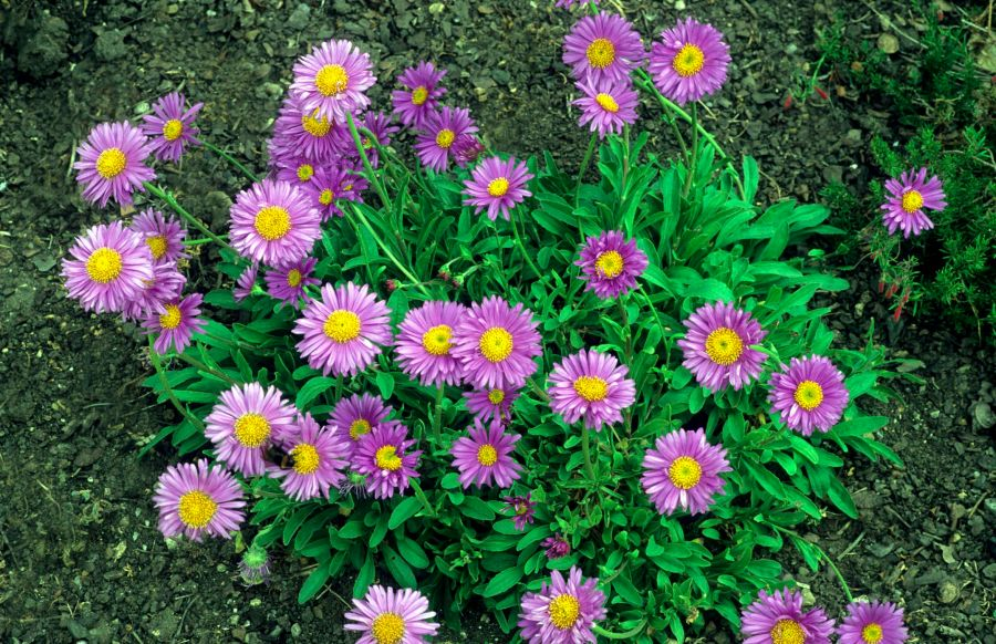 Grow Perennial Aster Flower Plants for Fall Blooms